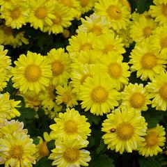 A big bunch of yellow (Deb Jones1) Tags: flowers flower nature beauty yellow canon garden botanical outdoors flora squareformat blooms flickrawards debjones1
