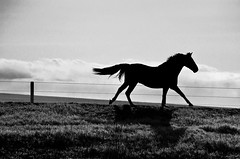 Galloping (C-Dals) Tags: horse blackwhite nikon morgan nikkor gallop 55200mmf456gvr d5100