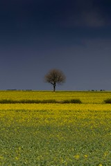 A little tree in a field of gold (jillyspoon) Tags: tree canon one flat lincolnshire straight 70200mm onetree 60d canon60d rapeseedoilrapeseedoilyellowgrowfarmingfarmercropgrowcropyellowgoldfieldsinglealoesolitaryskylandscapecentralmiddlenoruleofthirds