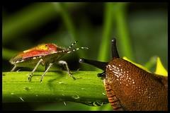 Nice to meet you! - 163/365 (Vlachbild) Tags: macro oneaday animal bug daily photoaday slug gastropoda pictureaday project365 flickraward insectsarachnids project365163 flickraward5 tamronspaf60mmf2diiimacro sonyslta65 2012inphotos project36511june2012