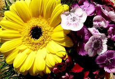 Gerbera & pinky (Nelken) (eagle1effi) Tags: pink macro yellow canon powershot gelb gerbera dianthus quinta supermacro sx1 pinks nelken nelke naturemasterclass supermacroon2 happyquintaflower dianthi