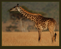 Strange creatures! (Rainbirder) Tags: giraffe masaimara giraffacamelopardalistippelskirchi giraffacamelopardalis masaigiraffe rainbirder