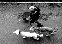 One Man and his Dog..s (Cornish Cactus) Tags: road above blackandwhite man dogs person walk candid lead stives walkies alpha300