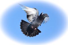 In Full Flight (pedro2324) Tags: bird animals wings cornwall pigeon flight creatures penzance