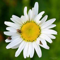 Oxeye Daisy with Varied Carpet Beetles (muscogeegirl) Tags: coleoptera anthrenusverbasci dermestidae variedcarpetbeetle
