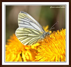 Green-veined-white. (stu.bloggs..Dont do Sundays) Tags: sunlight colour butterfly insect spring colours feeding butterflies insects dandelion definition greenveinedwhite