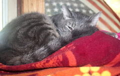 Hanate photo of the day 9/27/2016 (Patches Madison) Tags:  gray tabby handsome hanate cute sweet tired resting
