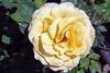 Maig_1365 (Joanbrebo) Tags: eosd canoneos70d efs18135mmf3556is autofocus park parque parc parccervantes 16èconcursinternacionalderosesnovesdebarcelona barcelona blumen blossom garden jardí jardín flores flors flowers fiori fleur