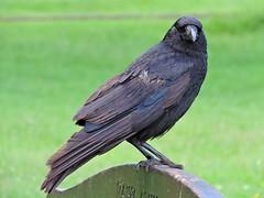 This seat is taken! (PhotoLoonie) Tags: crow bird gardenbird ukgardenbird wildbird britishbird ukbird carrion feathers