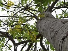 Cassia fistula (ddsnet) Tags: shower sony cybershot cassiafistula tree   cybershor goldenshowertree golden         cassia fistula hx100v
