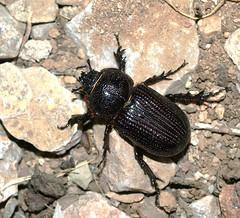 Hemiphileurus illatus (margarethe brummermann) Tags: arizona usa insects rove longhorn beetles picturerocks scarab coleoptera insecta scarabbeetles scarabaeidae pimacounty polyphaga scarabaeoidea stagandbessbeetlesscarabaeidaescarabbeetles