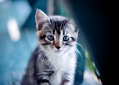 (tyreke.white) Tags: blue white black green yellow cat nose 50mm eyes nikon kitten bokeh stripes ears whiskers deck 18 d5000