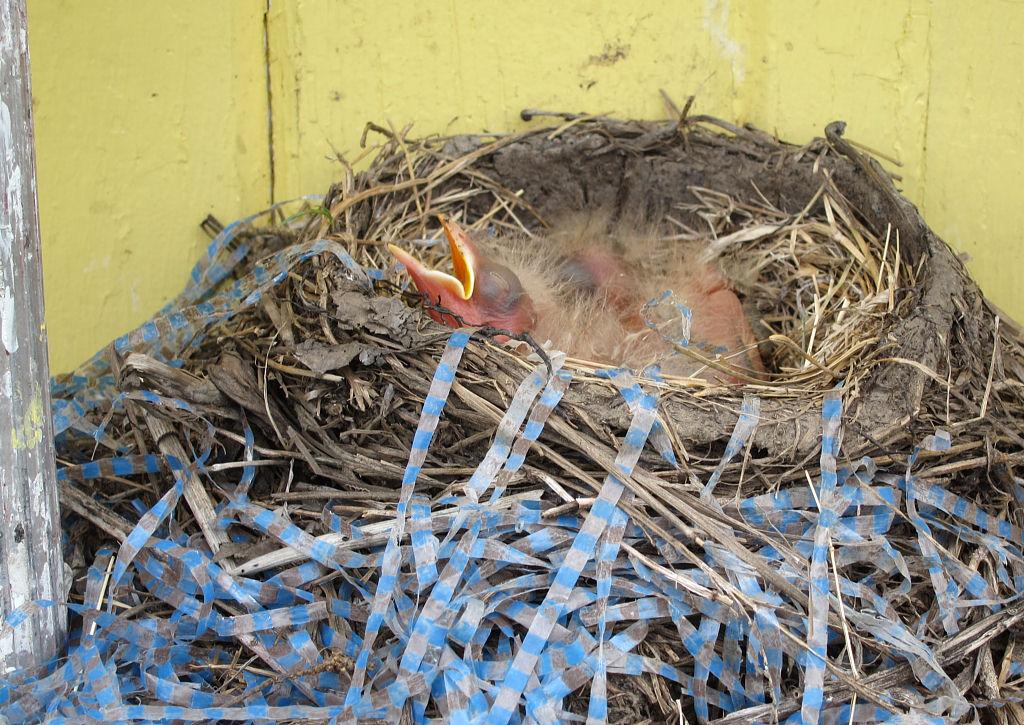 Birds Nest in backyard interesting spot 6-18-11 (edits) 01