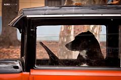 PERRO MALEVO - DOG MALEV (Agrofilms) Tags: old dog car june uruguay nikon group biting perro salida colonia output junio colony barking growling cachila fordt morder grupal ladrar 2011 gruido colorphotoaward d300s agrofilms