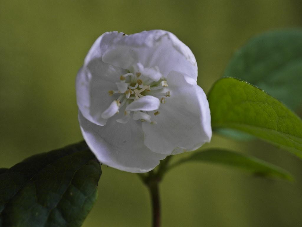 fragrant white flower ex1