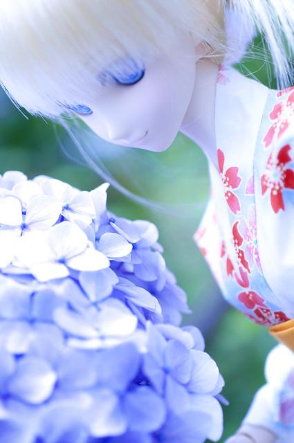 千葉県富津市 日本寺の紫陽花