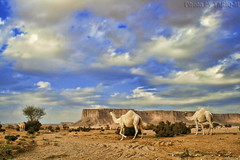Camel HDR (TARIQ-M) Tags: sky cloud mountains tree landscape sand desert camel camels riyadh saudiarabia hdr   canonefs1855               canon400d    tuwaiqmountains