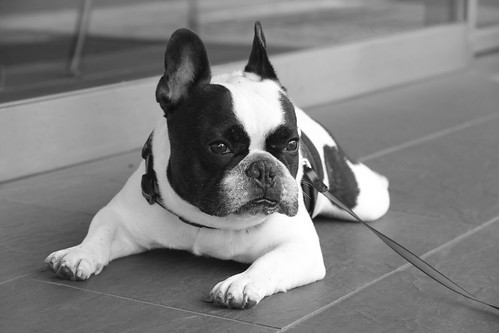 French Bulldog Chikuwa