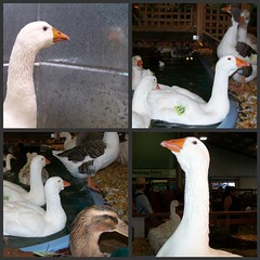 collage #45 (dominotic) Tags: carnival water animals rural farm sydney ducks ducklings australia games nsw newsouthwales chicks rides produce agriculture prizes ras amusements sideshow homebush theshow artsandcrafts eastershow sydneyroyaleastershow babyducks lifestock agriculturalshow sideshowalley winaprize citymeetscountry producedisplay