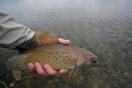 pretty bronze grayling