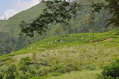 Tea Pickers (ropro22) Tags: mountains tea sri lanka teapickers