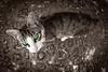 Cendra (Juan Antonio Capó) Tags: españa animal cat spain kat feline chat gato felino katze mace 猫 mallorca palma gatto חתול kot gat spanien kočka kedi spagna spanje majorca baleares kissa köttur spania mačka kucing pusa mèo palmademallorca balearicislands espanya moix گربه illesbalears кошка 고양이 minino γάτα мачка мельница котка pisică แมว قط الطاحونة ισπανία кішка 잭 マヨルカ島 קאַץ վալետ िल्ली バレアレス諸島 西班牙,espagne スペイン、