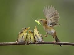 Here comes the Food (Iwan Tirtha) Tags: family bird feeding ngc npc colorphotoaward thebestofday gününeniyisi aboveandbeyondlevel1 flickrstruereflection1