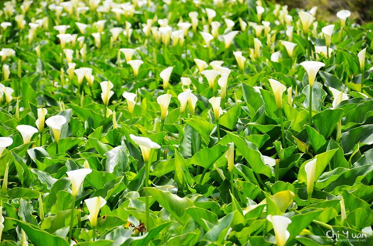 2012竹子湖海芋季10.jpg