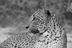 Leopard (Sri Lanka)_Panthera pardus kotiya-99 (fotolulu2012) Tags: blackandwhite black animals schwarzweiss weiss schwarz tierfotos blackendwithe schwarzweissbilder avibase