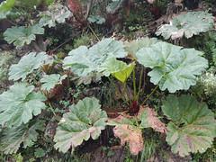 Gunnera sp. (chlorophonia) Tags: plants quito ecuador angiospermae floweringplants magnoliophyta angiosperms pichincha eudicots gunneraceae gunnerasp