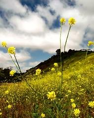 Mustard Grass (moonjazz) Tags: plant edible yellow mustard wild nature spice canyon california marionbear hills pollen spring flower sky