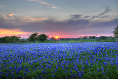 Glowing Bluebonnets at Sunset (Ronnie Wiggin) Tags: flowers trees sunset usa nature sunrise fence landscape spring nikon gate texas country wildflowers bluebonnets springtime fenceline d300 bloomingflowers texasbluebonnets nikond300 rwigginphotos ronniewiggin ronniewiggin