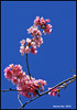 Blue Sky Is Nice Backdrop - Cherry Blossoms N8584e (Harris Hui (in search of light)) Tags: pink flowers canada closeup vancouver cherry spring nikon bc blossoms bluesky richmond cherryblossoms macrolens d300 springblossoms sigma150mmmacro nikonuser lookuptothesky nikond300 harrishui vancouverdslrshooter tisdallstreet