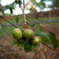 Samyda pubescens (Karen Blix) Tags: primavera santodomingo salicaceae parquemiradorsur amorseco samyda samydapubescens kasesec