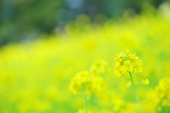 Lemon Hill (*Sakura*) Tags: flower green nature yellow japan tokyo spring  mustard sakura  canola earlyspring  rapeblossoms   notmacro