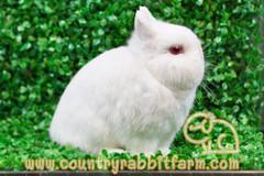 นกฮูก (Ruby-eyed White)
