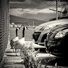 They paved paradise and put up a parking lot (. Jianwei .) Tags: street cruise urban white black bird nature car stat