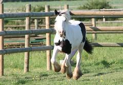 Jeune pouliche Irish Cob (Gypsy Cob) Tags: horses horse cheval ledefrance 500views 500 77 iledefrance each equine tinker chevaux seineetmarne ceffylau eich irishcob gypsyvanner capall gypsycob equinephotography over500views capaill kezeg equinephotographer