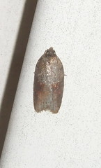 Acleris sp. (Stylurus) Tags: yard michigan moth unknown dearborn tortricid acleris bugguide