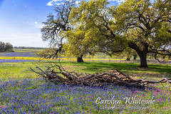 Bluebonnets and Brush