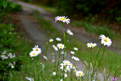Dirt Road Daisy (NC Mountain Man) Tags: daisy flower wildflower dof road dirtroad closeup macro ncmountainman nikon d3200 phixe lowresolutionversion