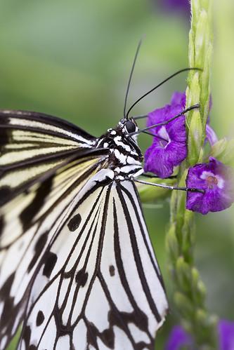 Paper Kite Butterfly - Idea Leuconoe
