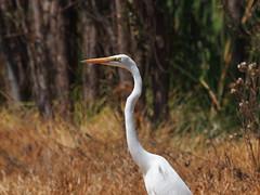 Great Egret (Oleg Chernyshov) Tags: greategret casmerodiusalbus ardeaalbaegretta birdsmexico большаябелаяцапля