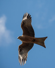 black kite (Milvus migrans)-1-2 (rawshorty) Tags: birds australia canberra act oldboboyanroad rawshorty