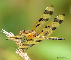 Halloween Pennant_0029 (Henryr10) Tags: dragonflies dragonfly cincinnati libelle cnc liblula libellule libellula naturecenter pennant odonata libellulidae celithemis halloweenpennant celithemiseponina cincinnatinaturecenter drekafluga rowewoods powelcrosleylake perintownohohio