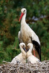White Storks - Ciconia ciconia (My Planet Experience) Tags: france bird nature animal canon fly flying couple nest chick oiseau stork nesting storch stockphotography cigogne whitestork ciconiaciconia birdphotography ciconia dombes ciconiidae cigüeñablanca cicognabianca cigogneblanche weisstorch witteooievaar wwwmyplanetexperiencecom myplanetexperience
