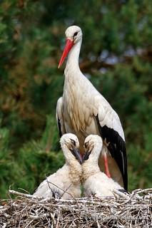 White Storks - Ciconia ciconia