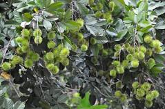 Rambutan (teohwp85) Tags: rambutan kelantan bharu wakaf