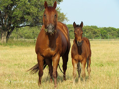Missing You (RootsRunDeep (Away)) Tags: horse nature rural mare texas farm young colt foal sorrel
