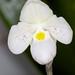 Paphiopedilum thaianum – John Hagee